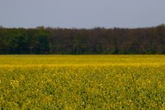 Yellow flowers covering the field - Dreamy field royalty free stock photos