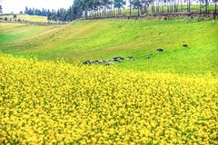 Yellow flowers and cows in the Andes. Yellow flowers and some cows, on a field high up in the Andes mountains, Cayambe, Ecuador royalty free stock image