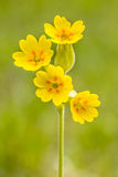 Yellow flowers of cowslip Royalty Free Stock Photography