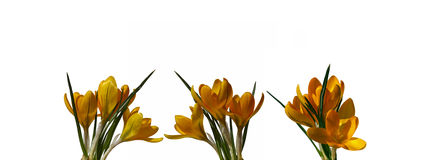 Yellow flowers of crocus isolated Stock Images