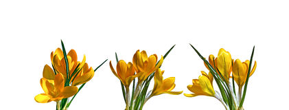 Yellow flowers of crocus isolated Royalty Free Stock Photo