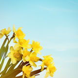 Yellow flowers daffodils on blue sky background. Royalty Free Stock Photo