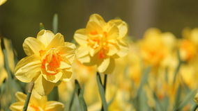 Yellow flowers. Daffodils. Yellow flowers on the flowerbed in the spring park stock video footage