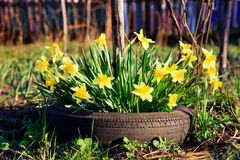 Yellow Flowers daffodils growing in a car tire Royalty Free Stock Images