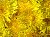 Yellow flowers of dandelion. Group of yellow flowers of dandelion Royalty Free Stock Images