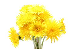 Yellow flowers of dandelion on white background. Bouquet of yellow fresh flowers of dandelion. Isolated on white background royalty free stock images