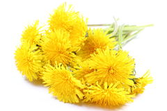 Yellow flowers of dandelion on white background. Bouquet of yellow fresh flowers of dandelion. Isolated on white background royalty free stock photography