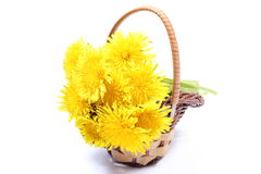 Yellow flowers of dandelion in wicker basket. Bouquet of yellow fresh flowers of dandelion in wicker basket. Isolated on white background royalty free stock image