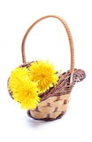 Yellow flowers of dandelion in wicker basket. Yellow fresh flowers of dandelion in wicker basket. Isolated on white background stock photography