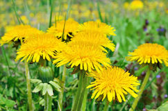 Yellow flowers dandelions among green grass on a lawn Stock Images