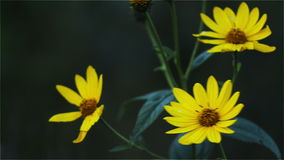 Yellow flowers on a dark background stock video footage