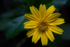 Yellow flowers and dark green background. Royalty Free Stock Photos