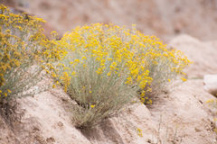 Yellow flowers desert Stock Photos