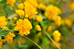 Yellow Flowers. Detail of little yellow flowers Royalty Free Stock Image