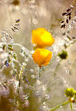 Yellow flowers in  dew Royalty Free Stock Photo
