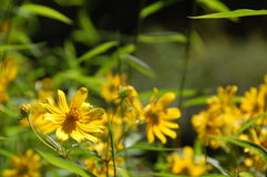 Yellow Flowers - Difficult Run Trail Royalty Free Stock Photography