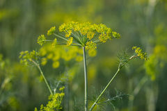 Yellow flowers of dill (Anethum graveolens) Stock Image