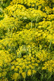 Yellow flowers on dill herb in garden in evening Royalty Free Stock Image