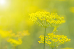 Yellow flowers of dill & x28;Anethum graveolens& x29; in the sunshine. Close up. Stock Images