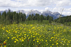 Yellow Flowers in the Dolomites. Small yellow flowers in the foreground of the grand mountains of the Dolomites in northern Italy Royalty Free Stock Photography