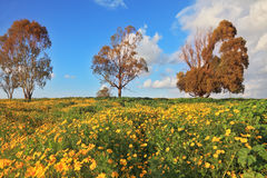 The yellow flowers and dry three trees Royalty Free Stock Photo