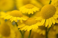 Yellow flowers of dyer`s camomile Anthemis tinctoria. Golden marguerite Royalty Free Stock Photos
