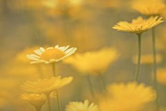 Yellow flowers of dyer`s camomile Anthemis tinctoria. Golden marguerite Stock Images