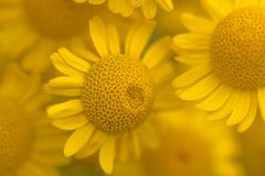 Yellow flowers of dyer`s camomile Anthemis tinctoria. Golden marguerite Stock Image
