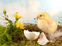 Easter flowers and chick. Yellow flowers with easter chick on a nest Stock Images