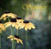 Yellow flowers of Echinacea. Flowers in the summer Royalty Free Stock Images
