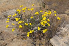 Yellow flowers of Elephant`s Foot Plant royalty free stock photography