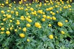 Yellow flowers of a European swimsuitt Tróllius europaéus in a forest glade Royalty Free Stock Photo