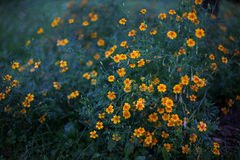 Yellow flowers in the evening after rain Stock Images