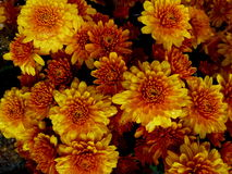 Yellow flowers in the fall. Background of beautiful yellow flowers in the fall Royalty Free Stock Image