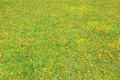 Yellow flowerson green grass Royalty Free Stock Photo