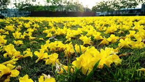 Yellow flowers fall off the ground. Royalty Free Stock Images