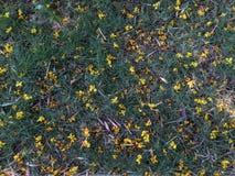 Yellow flowers falling on grasss in Singapore Botanic Garden Stock Photo