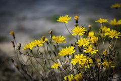 Yellow flowers. royalty free stock image