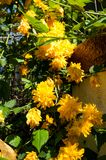 Yellow flowers and leafs stock images