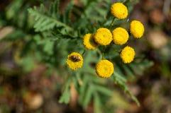 Yellow flowers, Fibonacci. Stock Images