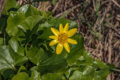 Yellow flowers Ficaria verna with green leaves in spring. Flowers of the lesser celandine Ranunculus ficaria in early spring. The. Yellow flowers Ficaria verna royalty free stock photography