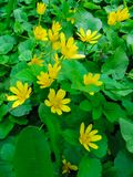 Yellow flowers Ficaria verna, with green leaves at spring. Spring background of flowers. First yellow spring flowers royalty free stock photography