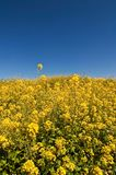 Yellow flowers in field Royalty Free Stock Photography