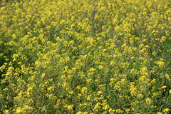 Yellow flowers field. Close up of spring yellow  flowers in the field royalty free stock images