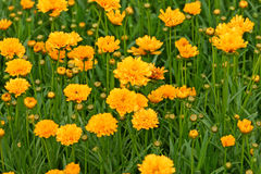 Yellow Flowers in a Field Royalty Free Stock Image