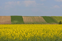 Yellow flowers field. In the summer Royalty Free Stock Photos