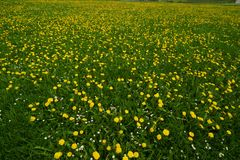 Yellow flowers in field Stock Photos
