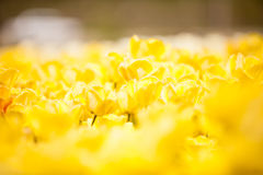 Yellow flowers in the field. Beautiful plant blossom Royalty Free Stock Photography