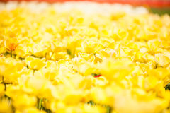 Yellow flowers in the field. Beautiful plant blossom Stock Photos