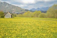 Yellow flowers field, beautiful Swiss landscape. Alpine meadow with spring yellow flowers. Gruyeres, Swiss Alps. Image taken in Gruyeres, Switzerland Stock Photo